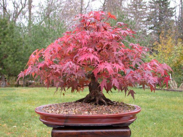 japanese-garden-bonsai-tree-3