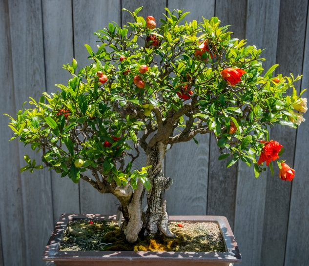 japanese-garden-bonsai-tree-4