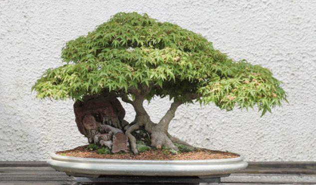 japanese-garden-bonsai-tree-7