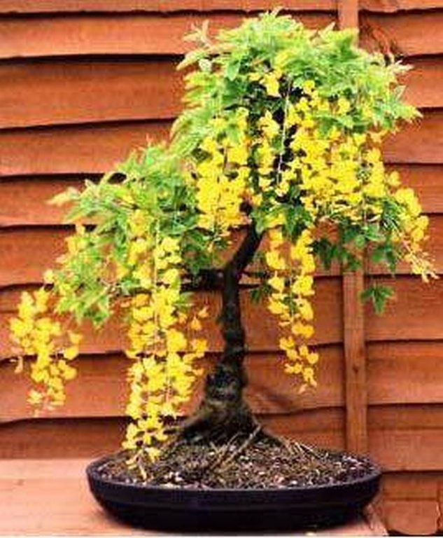 japanese-garden-bonsai-tree-9